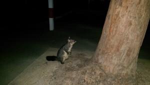 Auf dem Heimweg vom Moonlight Cinema stand auf einmal dieses süße Possum neben mir...mitten im Stadtzentrum