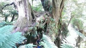 """Die Great Ocean Road führt durch den Otway National Park, dort haben wir den """"Maits-Rest""""-Walk gemacht. Es ging durch einen Dschungel aus Baumfarnen und riesen Bäumen"""