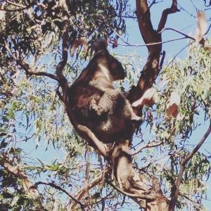 Wir haben wilde Koalas gesehen, nur wenige Meter von uns entfernt hingen 5 von den kleinen Rackern in den Bäumen